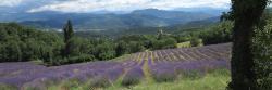 Les champs de lavande au-dessus de Piégros