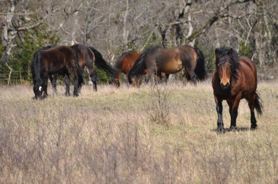 L'enclos des chevaux Barraquand, la race du Vercors