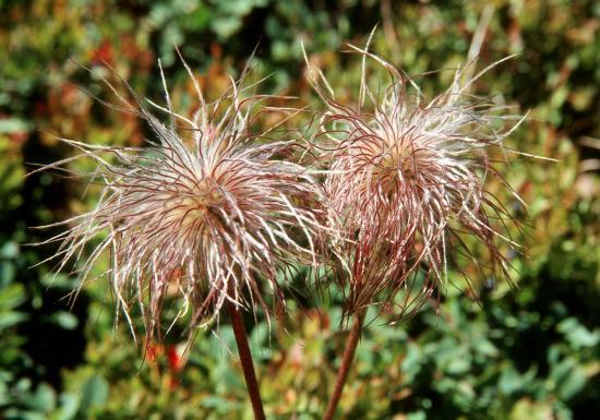 Anemones pulsatiles
