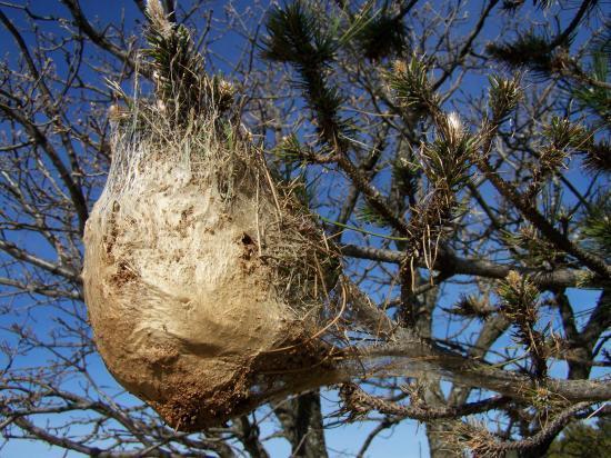 Cocon de chenilles processionnaires du pin(g!)