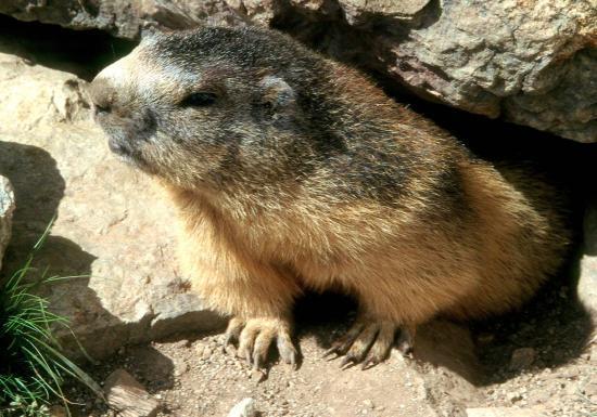 Une marmotte bien espiègle...