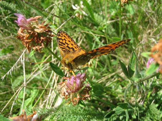 Trèfle et papillon