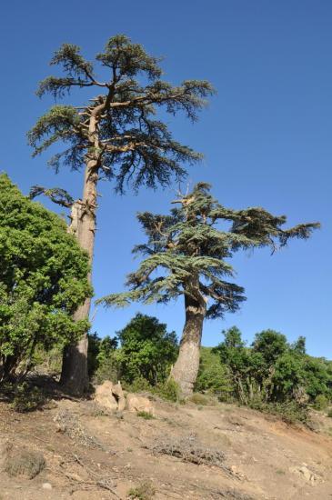 Forêt de cèdres entre Jaffar et Ait Ouchem