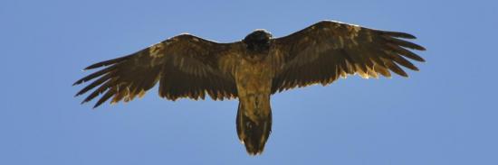 Un aigle au-dessus du Tarti La (Ladakh)
