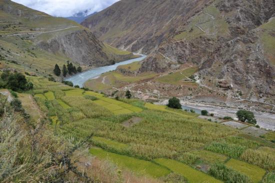 Les champs de maïs le long de la Thuli Bheri khola.