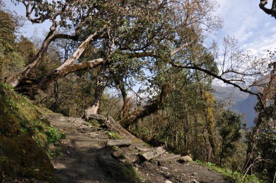 Dans la forêt de rhododendrons entre Siprang et Tadapani