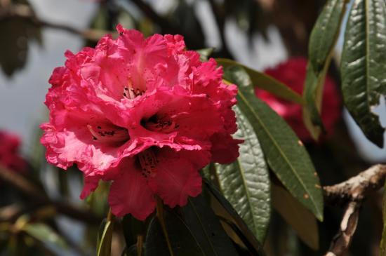 La fleur de rhododendron, emblême du printemps revenu...