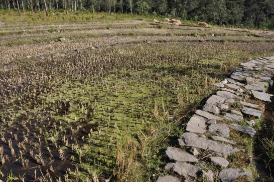 Les champs irrigués (ou khet)
