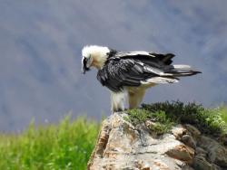 Jojo, l'aigle pêcheur (pyrargue) de Chharka Bhot scrute la rivière...