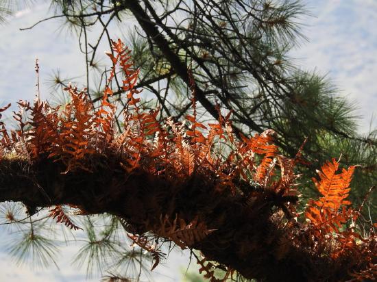 Fougères épiphytes