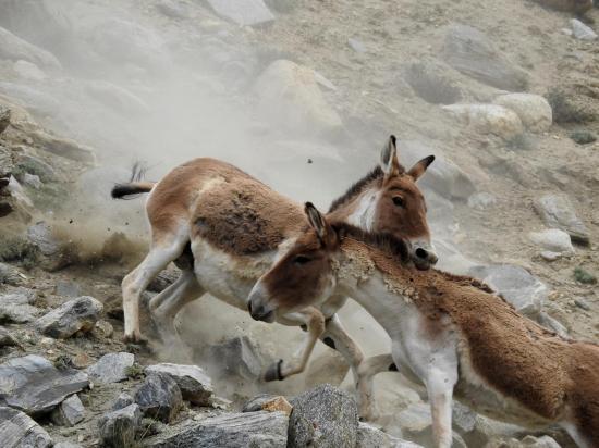 Bataille de kiangs à Drilche doksa