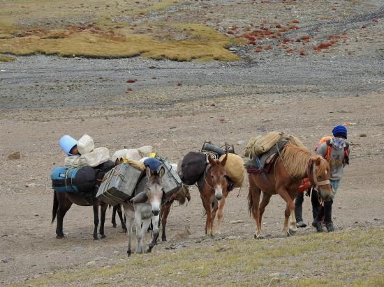 Ajiv Kumar et ses mules dans les dernières pentes du Ringchen La