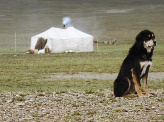 Le chien : protecteur des troupeaux, l'ami du berger, mais pas forcément celui du randonneur de passage...