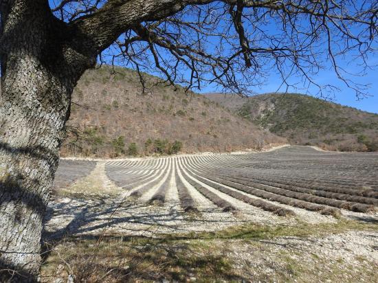Les champs de lavande de Fabras