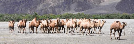 Chameaux de Bactriane dans la vallée de la Nubra (J&K - Inde)