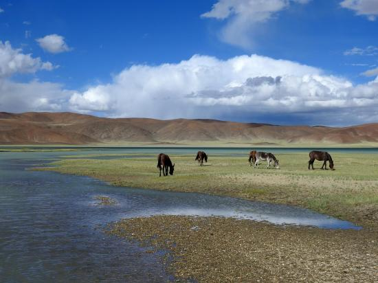 Les mules au repos au camp de Skyunting