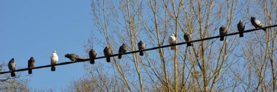Pigeons sur un fil