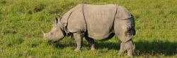Rhinocéros unicorne à Chitwan