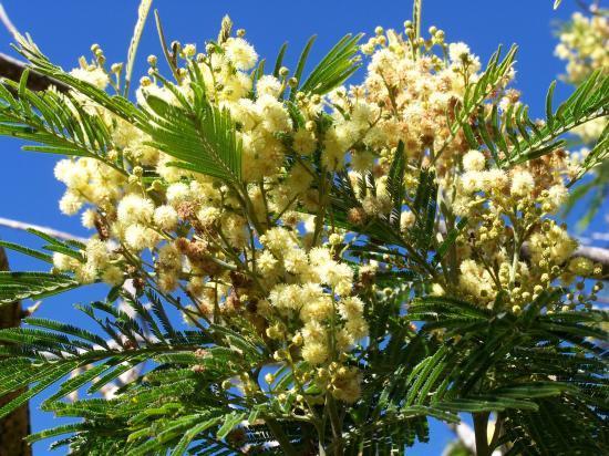 Mimosa péï du côté du Piton Bleu