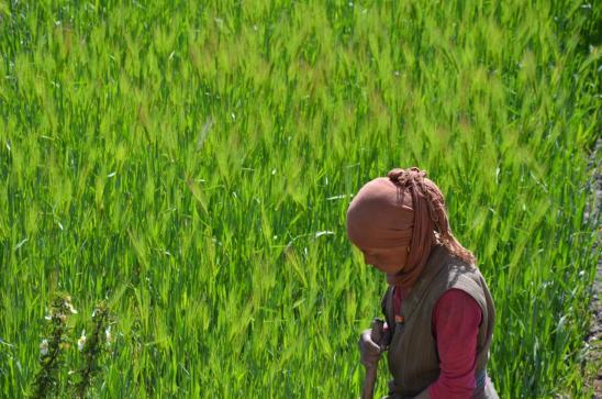 Paysanne dans les champs d'orge à Tangye