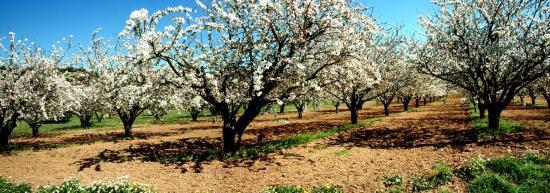 Cerisiers en fleurs dans la plaine du Luberon