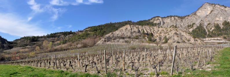 Les vignes d'Aurel au hameau de La Roche