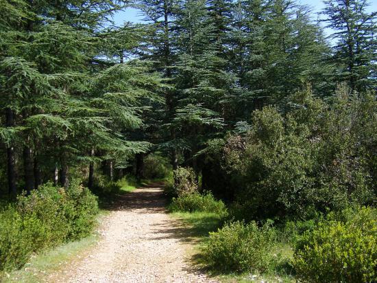 La forêt des cèdres sur le Petit Luberon