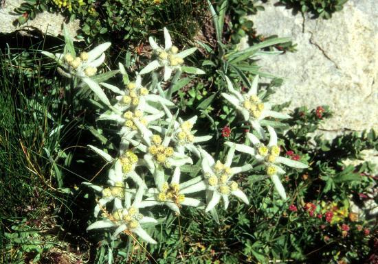 Edelweiss piémontais