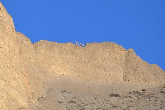 Bharals sur la crête au-dessus de Dhakmar