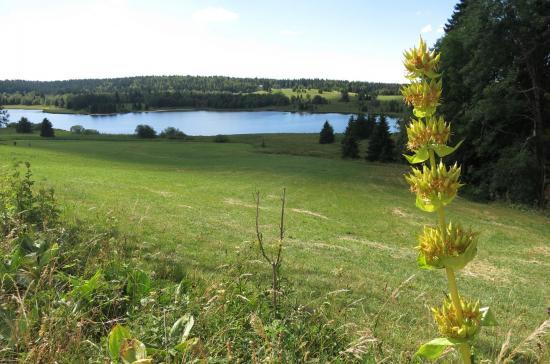 Gentiane devant le le lac de Bellefontaine