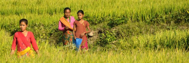 Paysannes aux champs dans les rizières de Lubughat