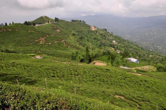 Les plantations de thé autour d'Ilam
