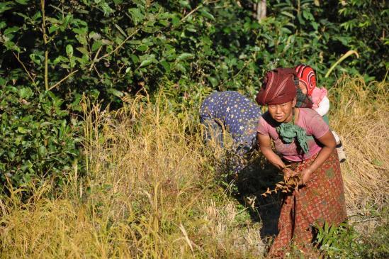 Femme dans les champs du côté de Lali kharka