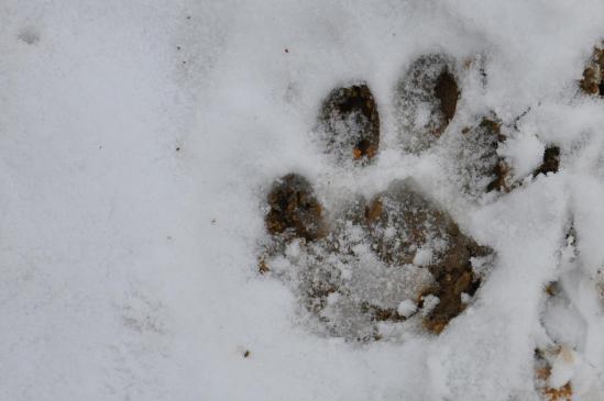 Empreintes de leopard des neiges