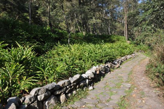 Les champs de cardamome en bord de la Tamur khola