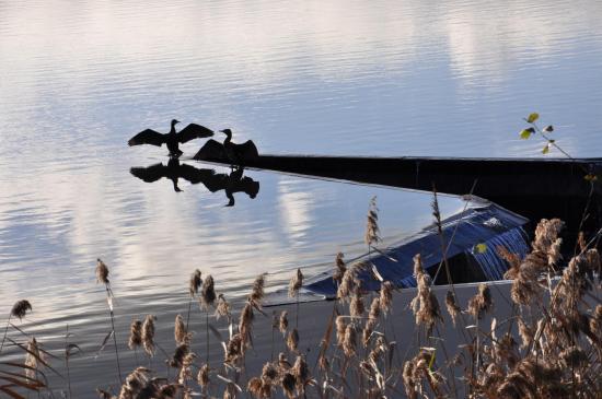 Cormorans se séchant les ailes sur le bord d'un des étangs du Maubuée