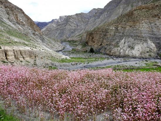 Les champs de sarrasin de Saldang
