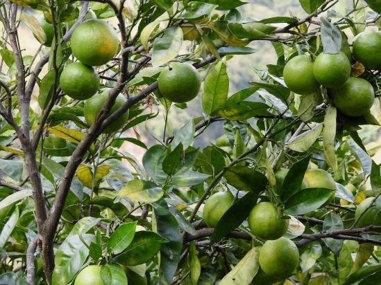 Les succulentes mandarines népalaises (suntala)