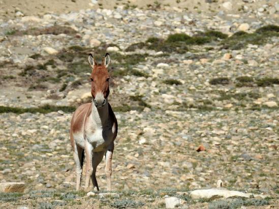 A l'entrée de la vallée des kiangs, le premier specimen nous accueille...