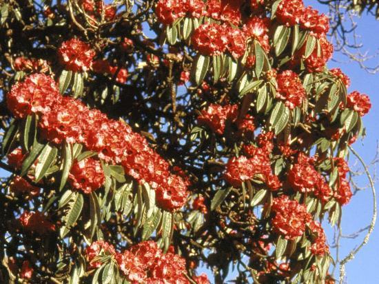 Les fameux rhododendrons géants du col de Ghorepani