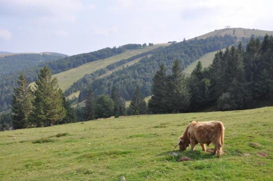 Un taureau Highland au Markstein...
