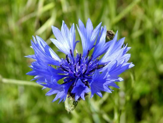 Une fleur parmi les fleurs : une centaurée barbeau (ou bleuet)