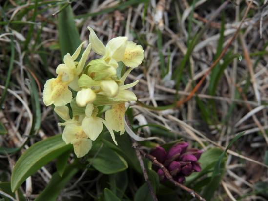 Une orchidée du Dauphiné au col de Volvent