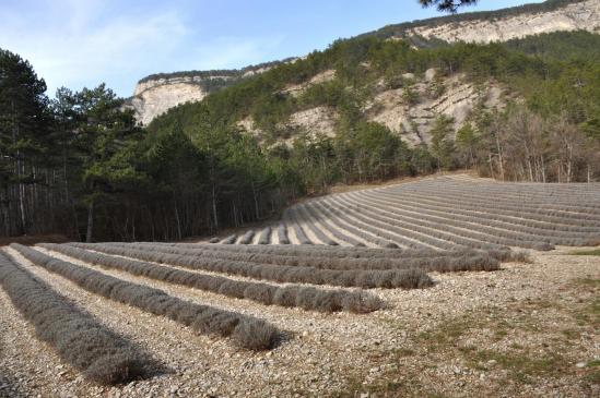 Le champ de lavande entre les ruisseaux de la Combe et de Gaudune