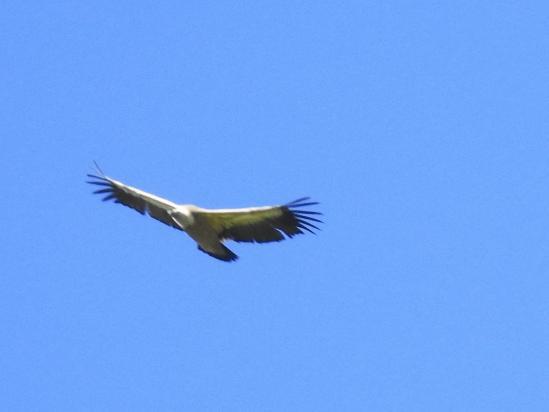 Un vautour moine