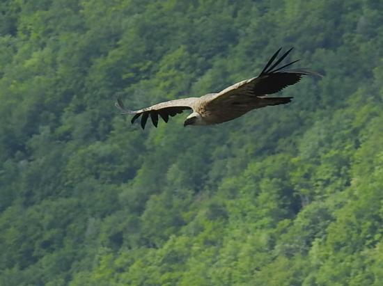 Les vautours du col de la Bataille