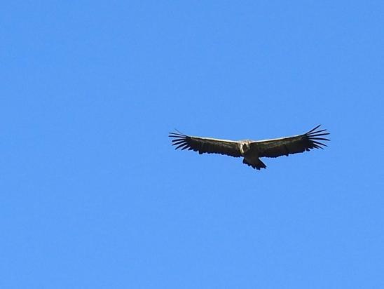 Survol d'un vautour-fauve à l'approche du Rocher de l'Aguille