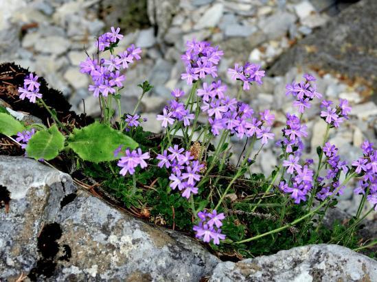 Charmant tapis de fleurs lors de la descente directe de Combe Male