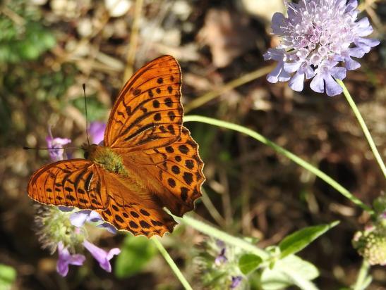 Papillon gourmand à l'approche du hameau de Suc