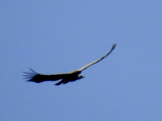 Un vautour-fauve tournoie au-dessus de la montagne de Ruy